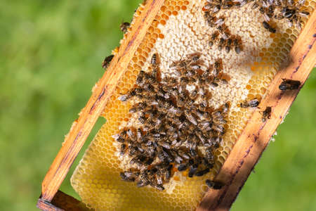 Frame of golden beehive with bees on green nature background. Honey bees on honeycomb. Beekeeping in countryside. Concept of organic farming. 免版税图像