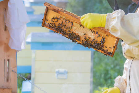 Beekeeper in bee suit holding honeycomb in hands with yellow rubber gloves. Honeycomb in gloved hands. Beekeeping in countryside. Organic farming concept.