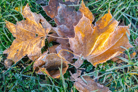 Fallen maple leaves with frost on grass in cool autumn. Frozen leaves for fall or winter background