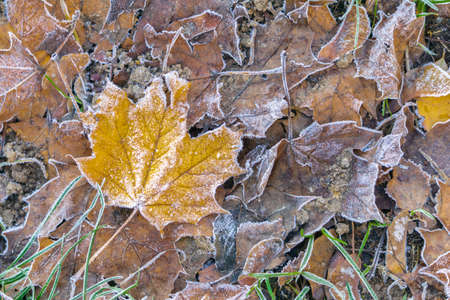 Fallen maple leaves with frost on ground in cool autumn. Frozen leaves for cold season background
