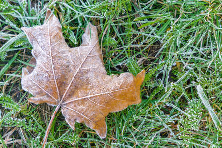 Frost on fallen maple leaf lying on grass in autumn. Frozen maple leaf and grass background for cold season fall or autumn