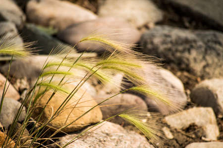 Foxtail in the breeze