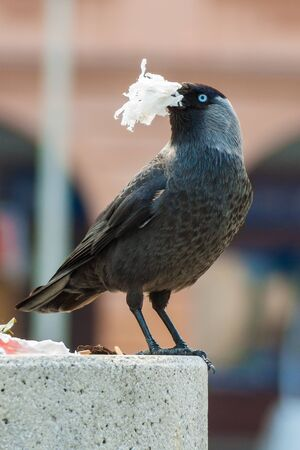 jackdaw: Shot of a jackdaw with paper in his beak. Stock Photo