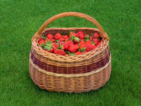 Wicker basket full of ripe garden strawberries on green grass. Fresh home grown strawberry in basket. 版權商用圖片