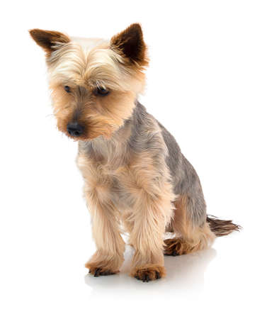 An adorable Australian silky terrier sitting against a white background with shadow reflection. Dog sitting on white underlay.
