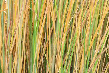 Reed stalks wallpaper. Grass straw background. Grass close up texture background.