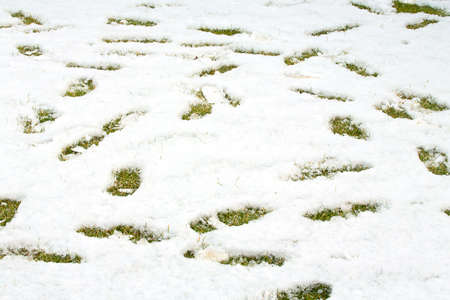 Footsteps in snow on green yellow grass. Ground covered with fresh snow and a print of human footsteps. Snow texture. White winter wallpaper. 版權商用圖片