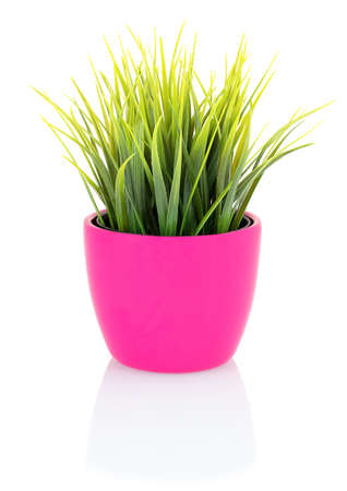Green grass in a pink pot isolated on white background with shadow reflection. Green grass in flowerpot made of porcelain. Green grass in clay pot on white backdrop. Decorative grass in flowerpot.