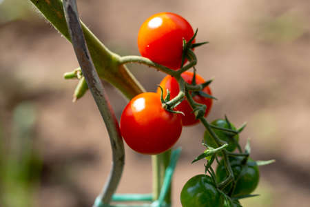 Ripe cherry organic tomatoes in garden ready to harvest. Homegrown tomato on plant in garden. Ripe tomatoes on the vine. Growth tomato with stakes. Beautiful ripe red and green organic tomatoes.