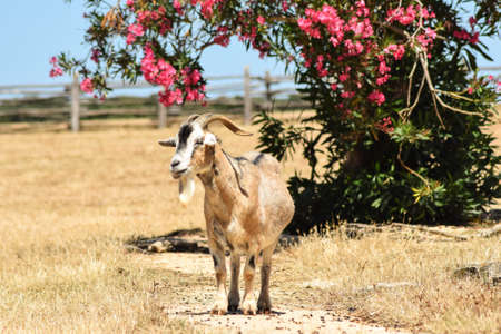 former yugoslavia: Wandering goat on the colourful island of Brijuni in Croatia which Tito, the long-lasting leader of former Yugoslavia, considered being his residence of luxury. Stock Photo