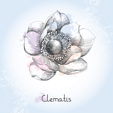 clematis flower: Sketch of Clematis flower on the blots background in pastel colors