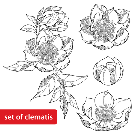dessin au trait: Ensemble de Clematis fleur isol� sur fond blanc Illustration