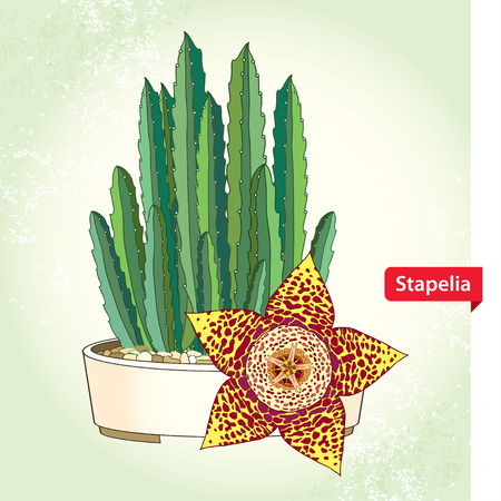 genus: Stapelia in the round pot on the textured background. Genus of low-growing stem succulent plants. Series of different succulents Illustration