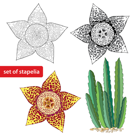 carrion: Stapelia isolated on white background. Genus of low-growing stem succulent plants. Series of different succulents Illustration