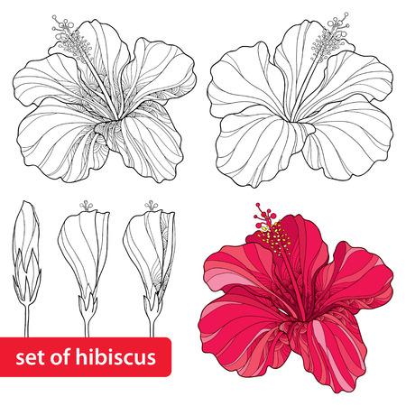 hibisco: Conjunto de hibisco chino o Hibiscus rosa-sinensis aislado sobre fondo blanco. símbolo de la flor de Hawaii. Vectores