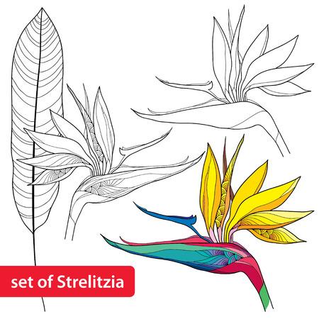 ave del paraiso: Conjunto de Strelitzia reginae o ave del para�so de flores y hojas aisladas sobre fondo blanco.