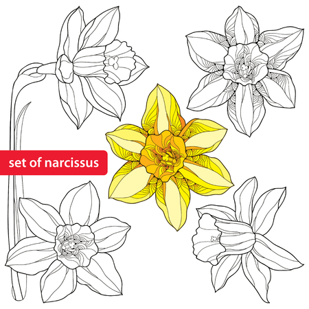 Set of narcissus flower or daffodil isolated on white background. Floral elements in contour style. Plant is the one of spring symbols.