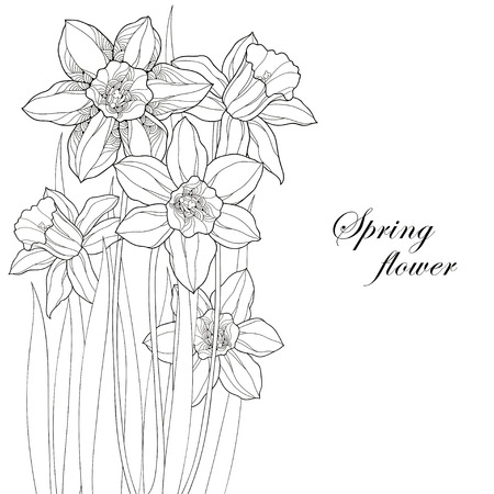 jonquil: Bouquet with ornate narcissus flower or daffodil isolated on white background. Greeting card with floral elements in contour style.