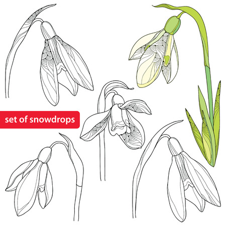 Set van bloem van het sneeuwklokje of Galanthus op een witte achtergrond. Bloemen elementen in contour stijl. Plant is het één van de lente symbolen.