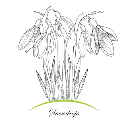 galanthus: Bouquet with ornate Snowdrop flowers or Galanthus isolated on white background. Floral elements in contour style. Plant is the one of spring symbols.
