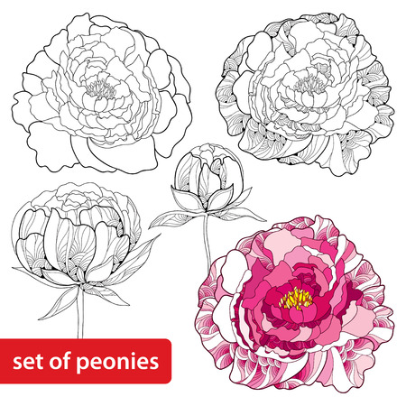 Set of peonies flower isolated on white background. Floral elements in contour style.