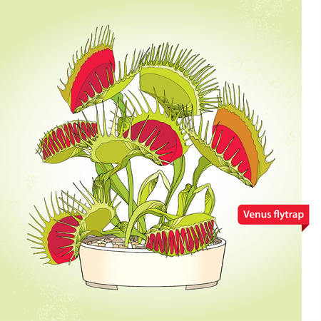 Venus Flytrap or Dionaea muscipula in the round flowerpot on the light green background. Illustrated series of carnivorous plants. Floral elements in contour style.