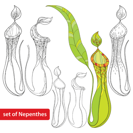 petiole: Set of Nepenthes or monkey-cup isolated on white background. Illustration