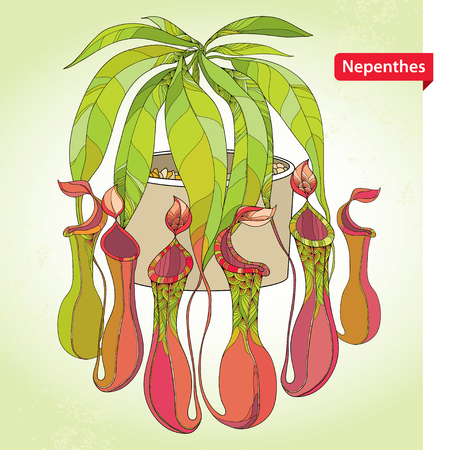 Nepenthes or monkey-cup in the round flowerpot on the light green background.