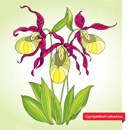 slipper: Cypripedium calceolus or Ladys slipper orchid on the light green background. Ornate flowers and leaves. Floral elements in contour style.