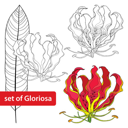 Set of Gloriosa superba or flame lily, tropical flower and leaf isolated on white background. Poisonous plant. National flower of Zimbabwe. Floral elements in contour style.