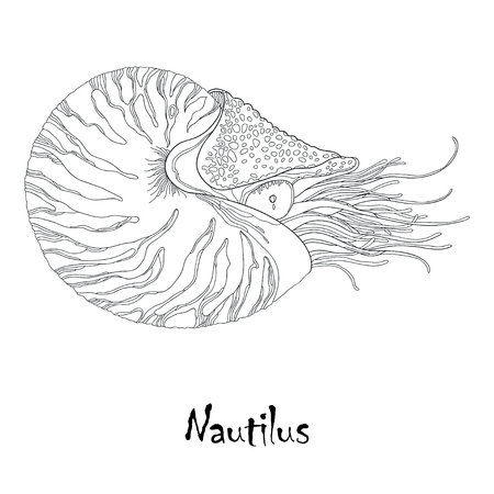 Vector illustration of Nautilus Pompilius or chambered nautilus isolated on white background. Sea mollusk in contour style. Illustration