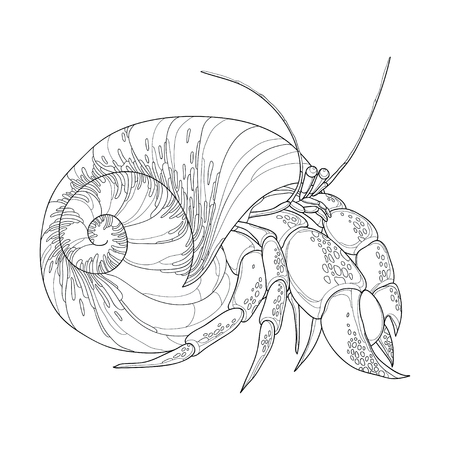 crustacean: Vector illustration of Hermit Crab in the round gastropod shell isolated on white background. Underwater crustacean in contour style for coloring book.
