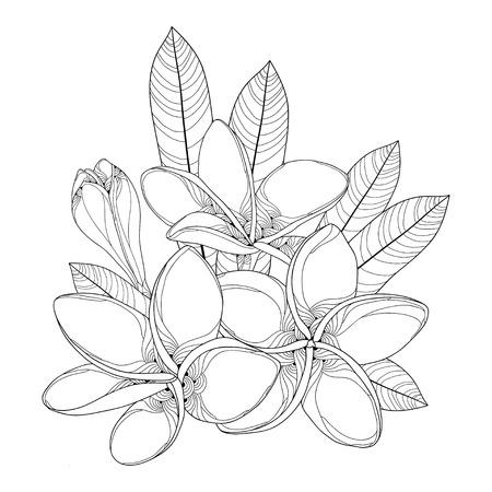 華やかなプルメリアやフランジパニの花、芽黒白い背景で隔離の葉と花束。バリ島とラオスの国花。夏デザインの輪郭のスタイルの花の要素。