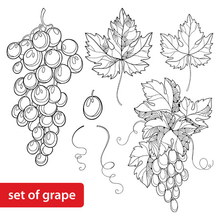 white grape: set with ornate bunch of grape and grape leaves in black isolated on white background Illustration