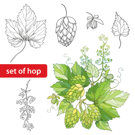 humulus: set with ornate Hops or Humulus. Cones, leaves, branch in black isolated on white background. Outline Hops for beer and brewery decor. Elements with hops in contour style for organic design. Illustration