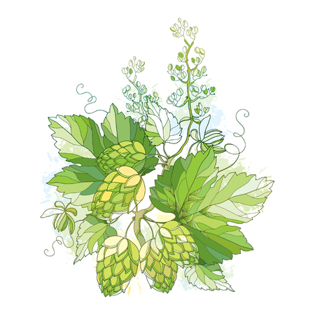 verdant: stem with Hops or Humulus with ornate leaves and cones isolated on white background. Composition with hops for beer and brewery decor. Organic elements in contour style for summer design.