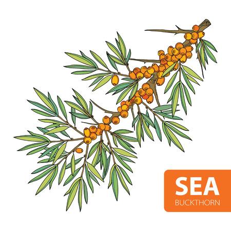 branche de l'argousier ou sandthorn. Sea baies de nerprun et de feuilles isolées sur blanc. éléments à base de plantes dans le style de contour pour l'éco décor. argousier pour la nourriture, la pharmacie ou de la conception esthétique. Vecteurs