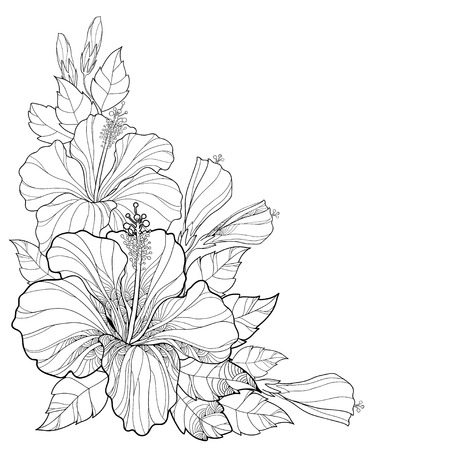 Vector bouquet with Chinese Hibiscus or Hibiscus rosa-sinensis. Flower, bud and leaves isolated. Corner composition with Hibiscus. Floral elements in contour style for summer design and coloring book.