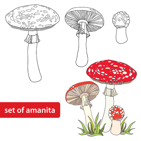 mycology: Vector set with Amanita or Fly agaric mushroom isolated on white background. Outline poisonous red-cup mushroom in line art decor.