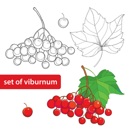 guelder rose: Vector set with outline bunch of Viburnum or Guelder rose, leaves and berry isolated on white. Illustration with autumn berry. Floral elements in contour style for autumn design and coloring book.