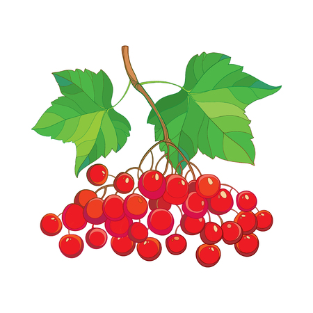 guelder rose: Vector illustration with outline bunch of Viburnum or Guelder rose, green leaves and red berry isolated on white. Drawing with autumn berry. Floral elements in contour style for autumn design. Illustration