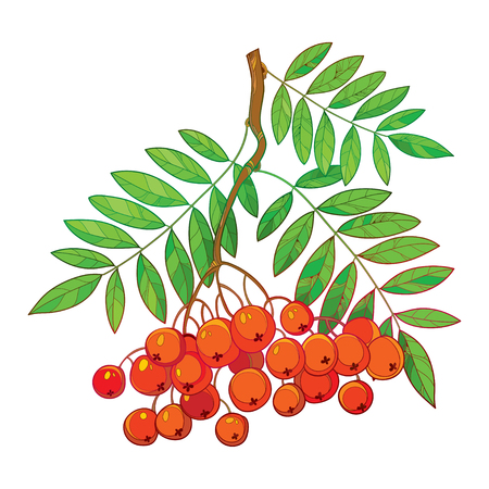 sorb: Vector illustration of branch with outline Rowan or Rowanberry, leaves and berry isolated on white. Composition with orange berry. Floral decor with rowan bunch in contour style for autumn design.