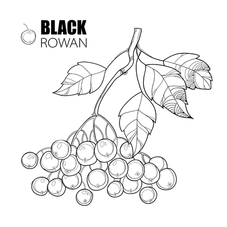 Vector branch with outline Black Chokeberry or Aronia, leaves and berry isolated on white. Illustration with autumn berry. Decor with Chokeberry in contour style for autumn design and coloring book. Illustration