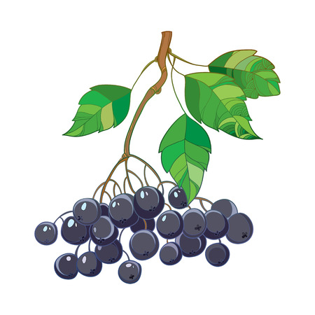 chokeberry: Vector branch with outline Black Chokeberry or Aronia, leaves and berry isolated on white. Illustration with ripe autumn berry. Decor with bunch of Chokeberry in contour style for autumn design.