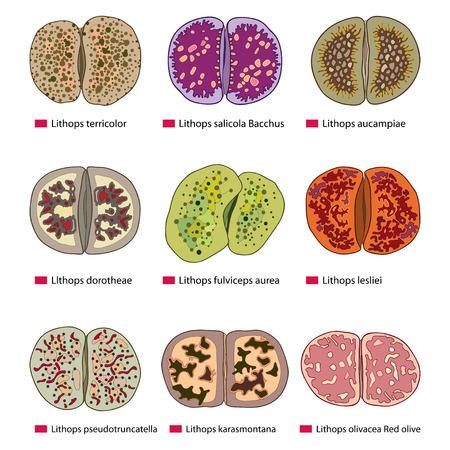 Vector illustration avec jeu de Lithops de contour ou des pierres vivantes isolé sur fond blanc. Série de différentes plantes succulentes dans le style de contour pour la conception d'été. Vecteurs