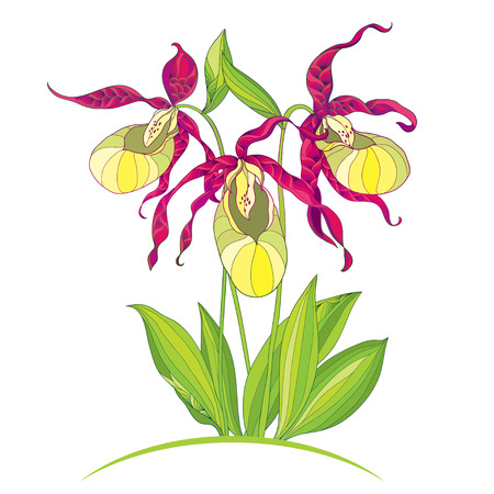 Vector illustration of hand drawing Cypripedium calceolus or Ladys slipper orchid isolated on white background. Ornate flowers and leaves. Floral elements in contour style for botany design. Illustration