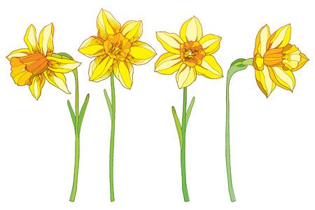 概要黄色の水仙、水仙の花と春のデザイン、グリーティング カード、招待状に分離の白の華やかな花の要素を設定します。