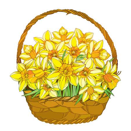 detailed image: Vector bouquet with outline yellow narcissus or daffodil flowers in the basket isolated on white. Ornate floral elements for spring design, greeting, invitation. Basket of narcissus in contour style.