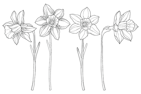 Vector set with outline narcissus or daffodil flowers in black isolated on white background. Ornate floral elements for spring design and coloring book. Narcissus flower in contour style. Vectores