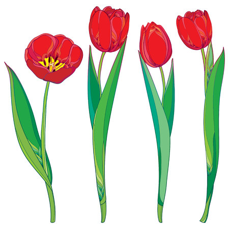 Vector set with outline red tulips flowers and green leaves isolated on white. Template with ornate floral elements for spring design, greeting card, invitation. Tulip flower in contour style.